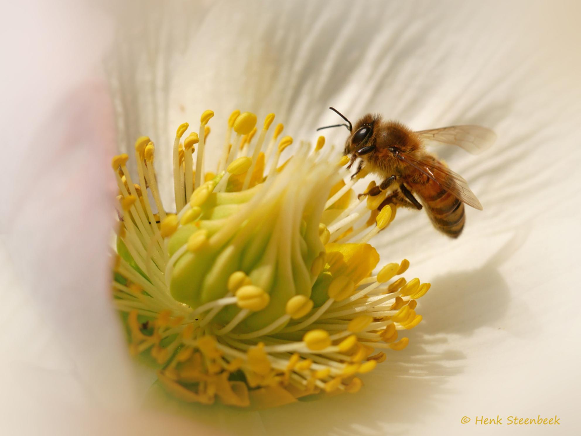 helleborus druk bezocht - Met het relatief warme weer zoemt het weer in de tuin. Er zijn erchter nog weinig bloemen dus deze helleborus wordt druk bezocht door de kleine bijen - foto door HenkSt op 26-02-2021 - deze foto bevat: macro, bij, helleborus - Deze foto mag gebruikt worden in een Zoom.nl publicatie