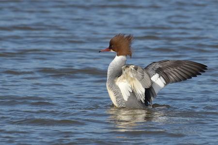 shake up feathers - vorige maand de vrouw zaagbek kunnen vastleggen die zijn veren aan het opschudden is in het water , iedereen bedankt voor de fijne reacties op mijn v - foto door hansdegreeff op 20-03-2021