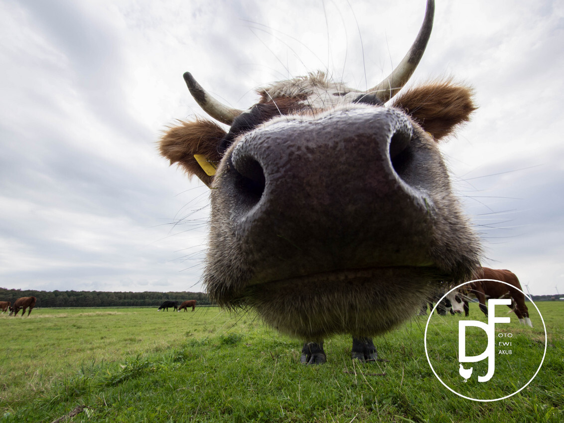 Koeienneus door groothoeklens - één van onze koeien. Foto genomen met groothoeklens. - foto door creadewi op 27-09-2015 - deze foto bevat: koe, blaarkop