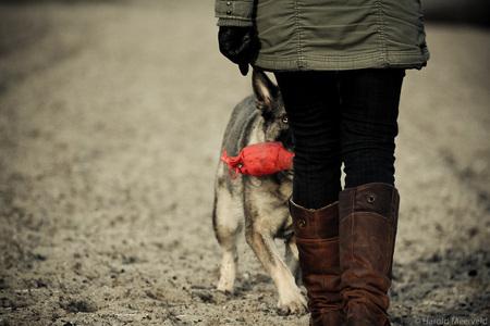 Duitse Herder Apport - Duitse Herder Apport - foto door harold29 op 03-01-2013 - deze foto bevat: dieren, hond, honden, duitse herder