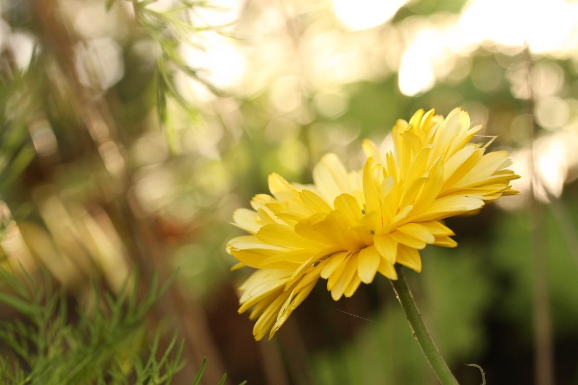 bloem tegenlicht - een bloem in tegenlicht  gr remco - foto door remco jansen op 24-10-2013 - deze foto bevat: bloem, geel, tegenlicht, bokeh