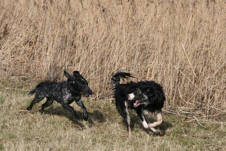 Sara & Femke - ze waren hier voor het eerst bij elkaar en meteen onafscheidelijk - foto door glimmend op 09-03-2010 - deze foto bevat: spelen, hond, rennen
