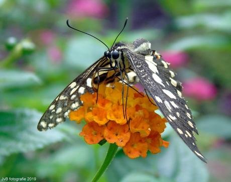 Papilio demoleus*