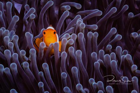 Anemoonvis in het paars