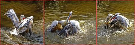 Waterballet - Foto's genomen in dierenpark Blijdorp op mijn uitstapje met Elly. gr. Nel - foto door Nel Hoetmer op 19-03-2014 - deze foto bevat: dieren, nel