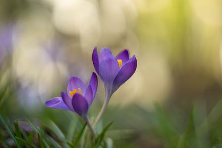 Lentebode - - - foto door phaaksma op 02-03-2021 - deze foto bevat: blauw, bloem, licht, crocus, voorjaar, bokeh