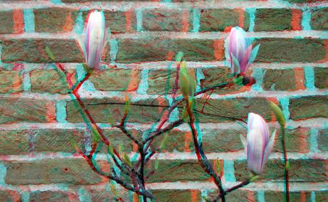 Tulpboom Kloostertuin Dordrecht 3D