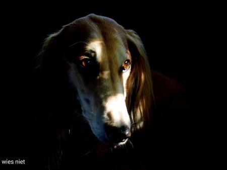 eye catcher - Saluki astrix - foto door Wies12 op 07-07-2018 - deze foto bevat: dieren, huisdier, hond