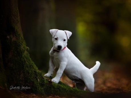 Bowie in het bos