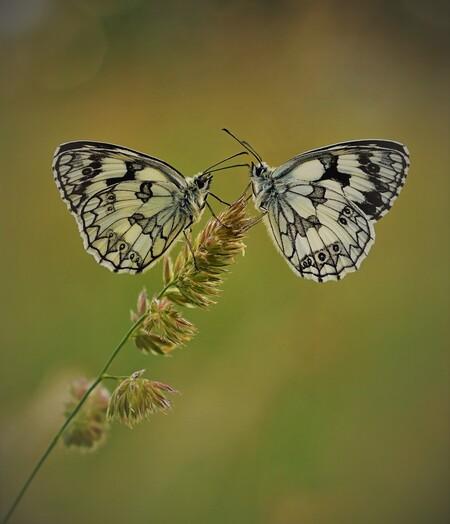 Two - Ik was erg blij met dit moment waar twee dambordjes op een grasprietje zaten wakker te worden. In het Engels heet hij 'gemarmerd witje', maar de Fra - foto door EJVH op 07-06-2020 - deze foto bevat: vlinder, insect, twee, dambordje, bokeh, lepidoptera