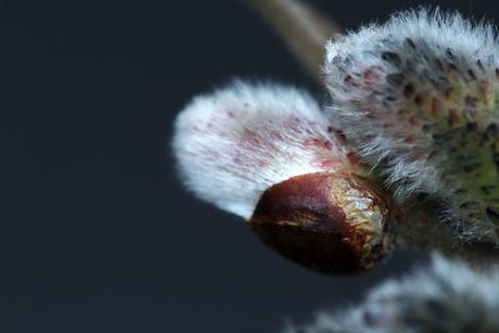 Macrofoto van katjesbloem