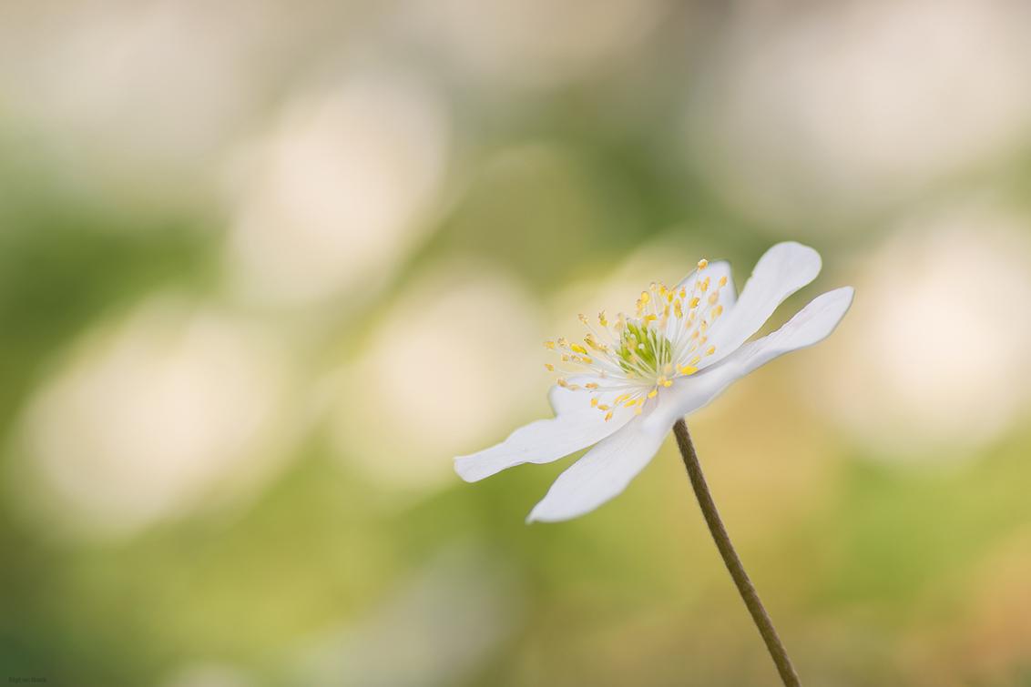 Eye catcher - - - foto door mourik57 op 02-04-2019 - deze foto bevat: macro, bos, voorjaar, herhaling, sfeer, bosanemoon, hoofdrol, brigit, maart, blikvanger, bokeh