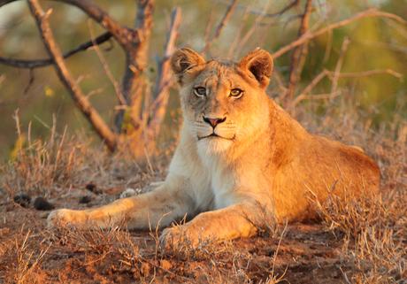 Jonge leeuwin in de avondzon