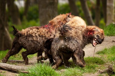 Vechtende hyena's