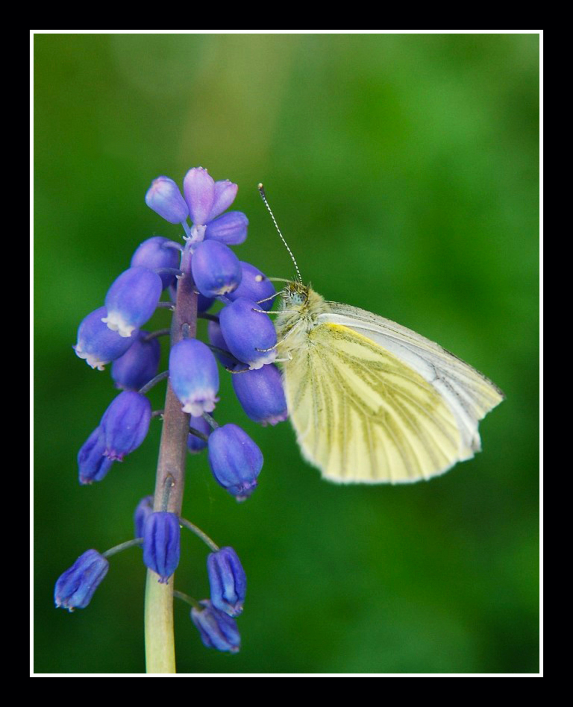 vlinders - Ja !!!!!! Ze zijn er weer volop de vlinders. Ben vandaag even wezen kijken en heb al mooi wat soorten kunnen vastleggen. Dit is een voorbeeld: het ge - foto door ruurd1 op 18-04-2009 - deze foto bevat: vlinder, ruurd1
