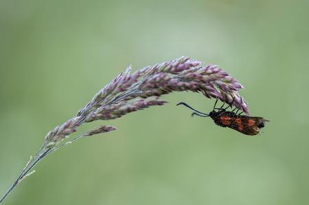 St.Jansvlinder.....flash back (15) - De st. Jansvlinder is een van de vele bloeddrupjes. Een dagactieve nachtvlinder, vaak in grote aantallen te  spotten. Kenmerkend zijn de 6 rode vlek - foto door franspelzer op 08-02-2021 - deze foto bevat: groen, macro, natuur, vlinder, zomer, insect, dauw, st Jansvlinder, franspelzer