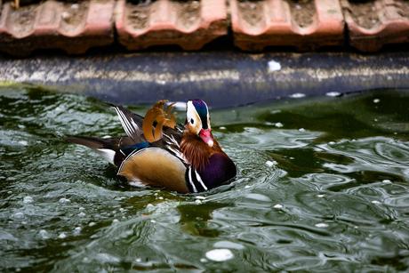Mandarijneend / Mandarin Duck