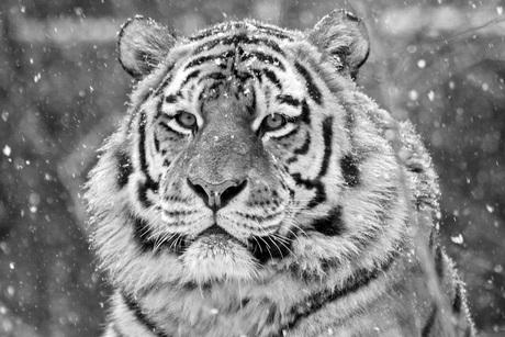 Siberische tijger in de sneeuw.
