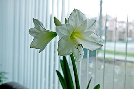 Amaryllis in bloei