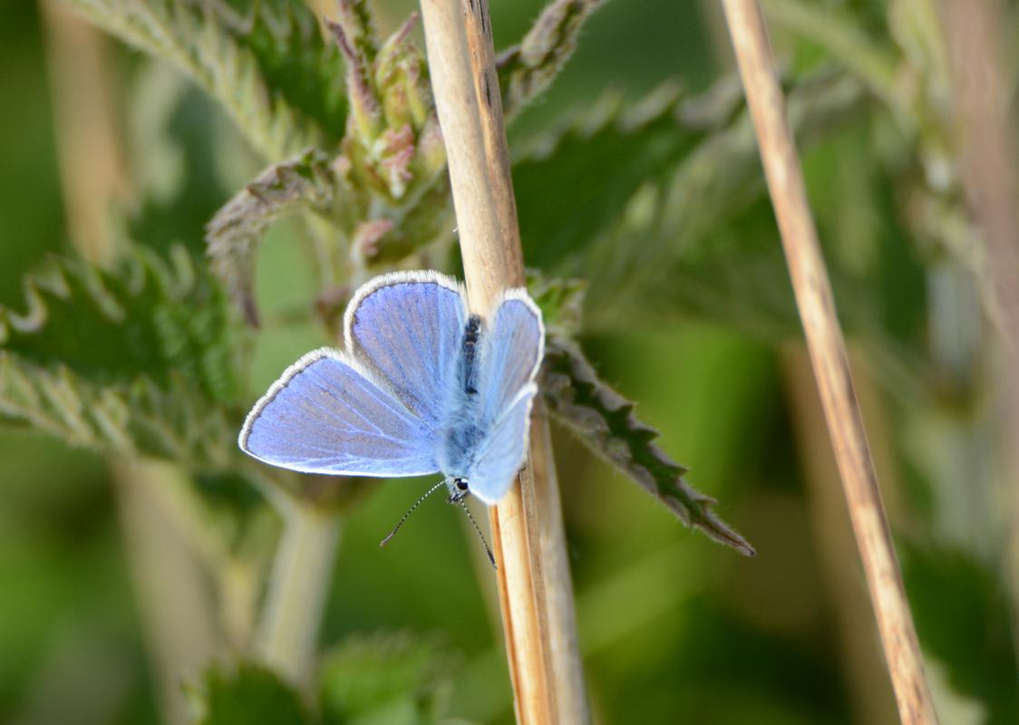 blauwtje - Niet origineel maar wel mooi blauw. - foto door bennert op 26-07-2015 - deze foto bevat: natuur, vlinder, duinen