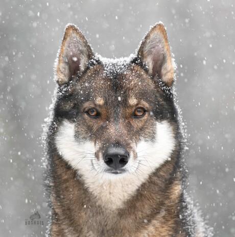 Vidar in de sneeuw