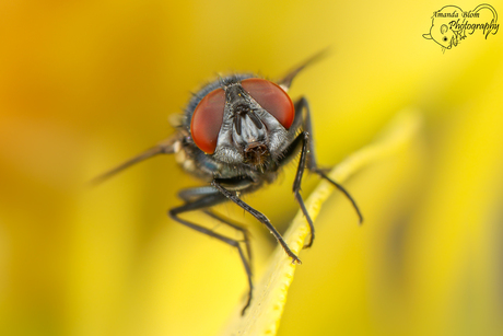 Vlieg closeup