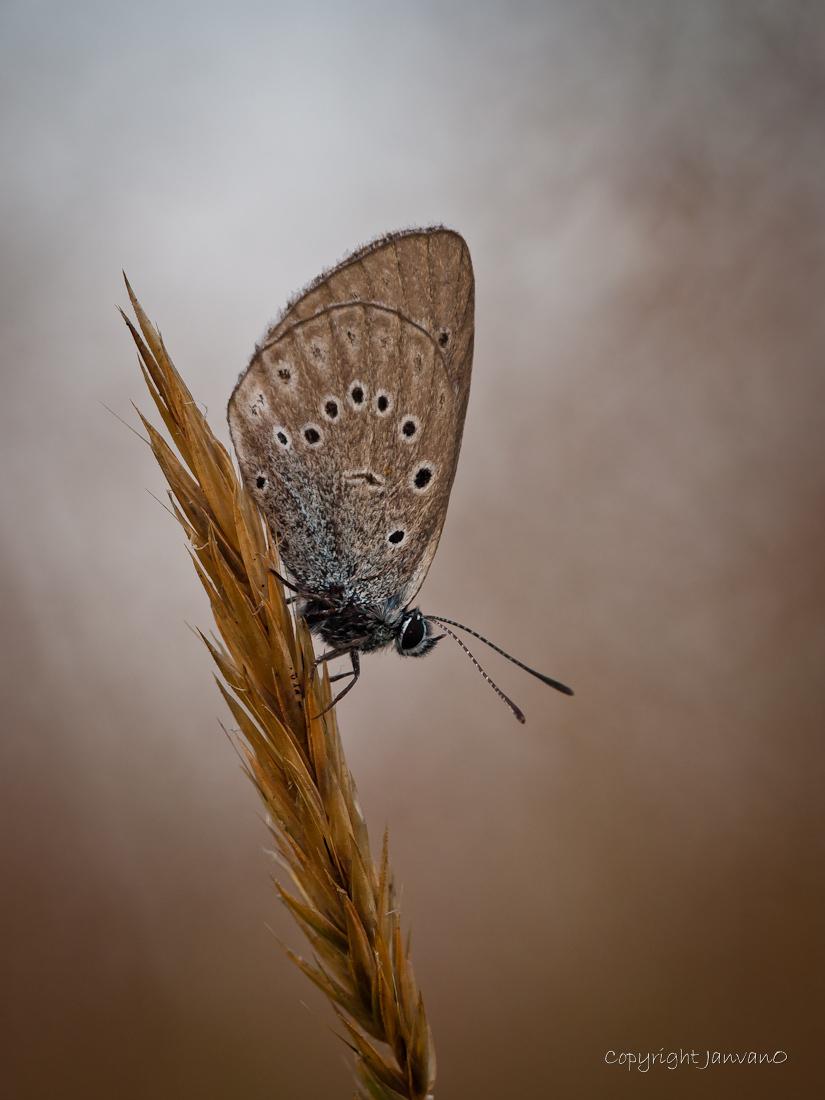 """Cloudy days - Op dezelfde dag gemaakt als de vorige upload """"Olympus blue"""" Waar de vorige zeer zonnig was is deze echt bewolkt, zware regenbuien hingen boven de pl - foto door JanvanO op 18-07-2012 - deze foto bevat: vlinder, zeldzaam, pimpernelblauwtje, janvano, olympus e-3, Sigma 150mm"""