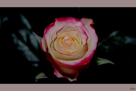 Sweet advance - P - foto door XIANG op 30-01-2010 - deze foto bevat: roos, new fashion