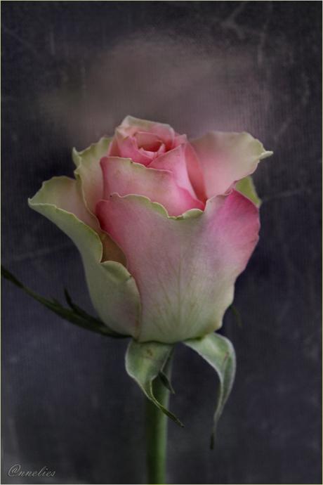een roos is een.......