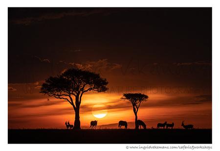 Sunset In Paradise - Wanneer de nacht valt in de Masai Mara, breekt de spannende tijd voor de prooidieren aan. Zij zien dan veel slechter dan de roofdieren en zoeken elka - foto door IngridVekemans op 08-03-2020 - deze foto bevat: zon, natuur, licht, zonsondergang, dieren, safari, landschap, tegenlicht, afrika, kenia, masai mara, fotoreizen, fotosafari, memorial maria luisa