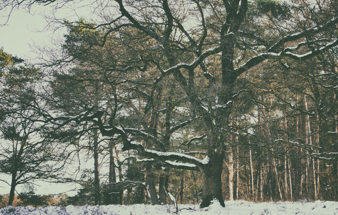 Winter- Wolfhezerheide - Op de Wolfhezerheide staan enkele machtige eiken te schitteren, zeker met een sneeuwlaagje is dit een lust voor het oog.   Allen bedankt voor de fi - foto door hvr2105 op 17-02-2021 - deze foto bevat: sneeuw, winter, eik, Bosfotografie, wolfhezerheide
