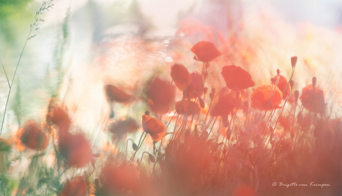 Vandaag is Rood - Zomersbeeld van klaprozen - foto door Puck101259 op 12-07-2020 - deze foto bevat: rood, macro, bloem, natuur, papaver, licht, klaproos, zomer, flora, dof, bokeh, brigitte, Wilde bloem