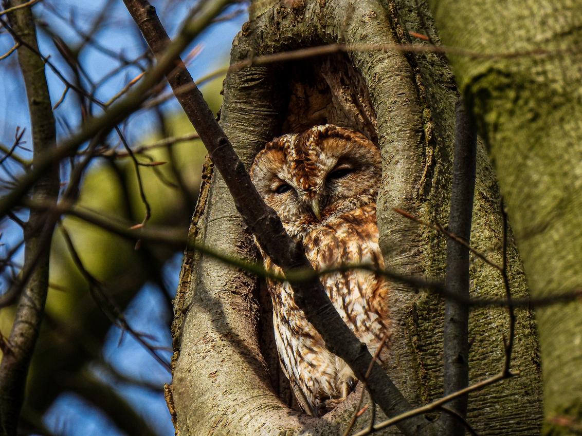 Bosuil - Bosuil - foto door GerardvI55 op 26-02-2021 - deze foto bevat: natuur, dieren, vogel, nederland, bosuil