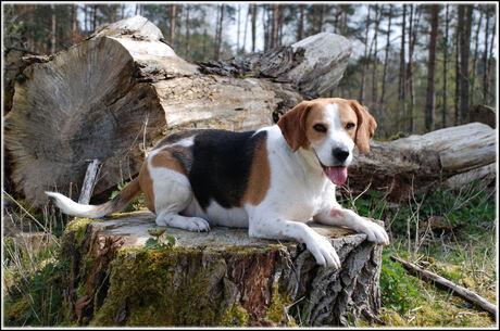 Onze eigen eigenwijze Beagle
