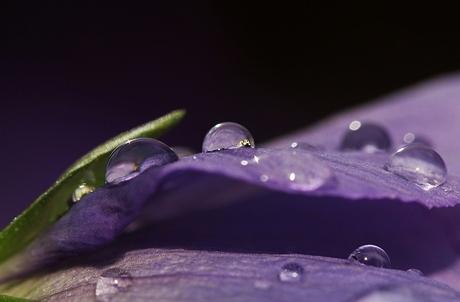 Regendruppels op viooltje 1