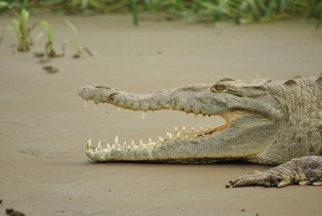 Poserende Krokodil