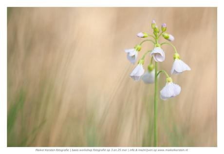 Pinksterbloem | natuurgebied | Groesbeek