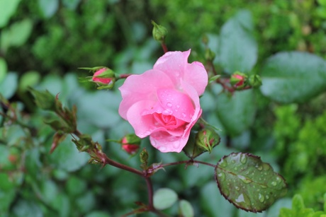 Roos na een regenbui