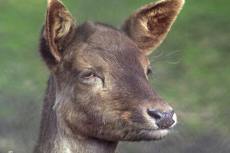 droom. Hert - hert van het hertenkamp - foto door Scooterlady op 03-03-2021