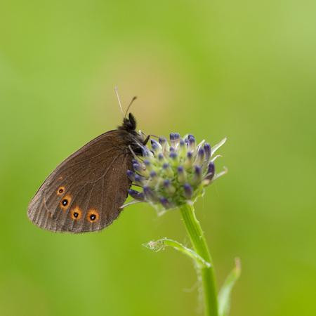 Voor... - Voorjaarserebia gekiekt in Duitsland. - foto door lfoulon op 30-12-2016 - deze foto bevat: macro, bloem, vlinder