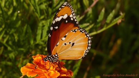Grieks vlindertje, monarchvlindertje