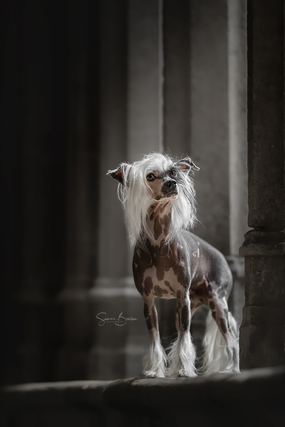 Chinese naakthond - - - foto door SanneBontan op 20-10-2020 - deze foto bevat: kasteel, huisdier, hond, honden, stad, mysterieus, huisdieren, hondenportret, naakthond, outdoor, hondenfotograaf, outdoorfotografie