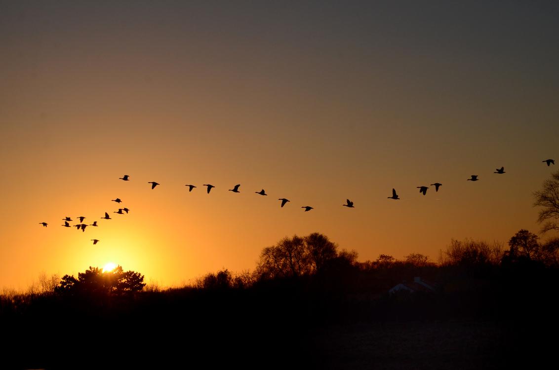 Ganzen - De ganzen zoeken voor zonsondergang een rustplaats in het natuurgebied Het Zwin. - foto door Canard op 04-12-2016