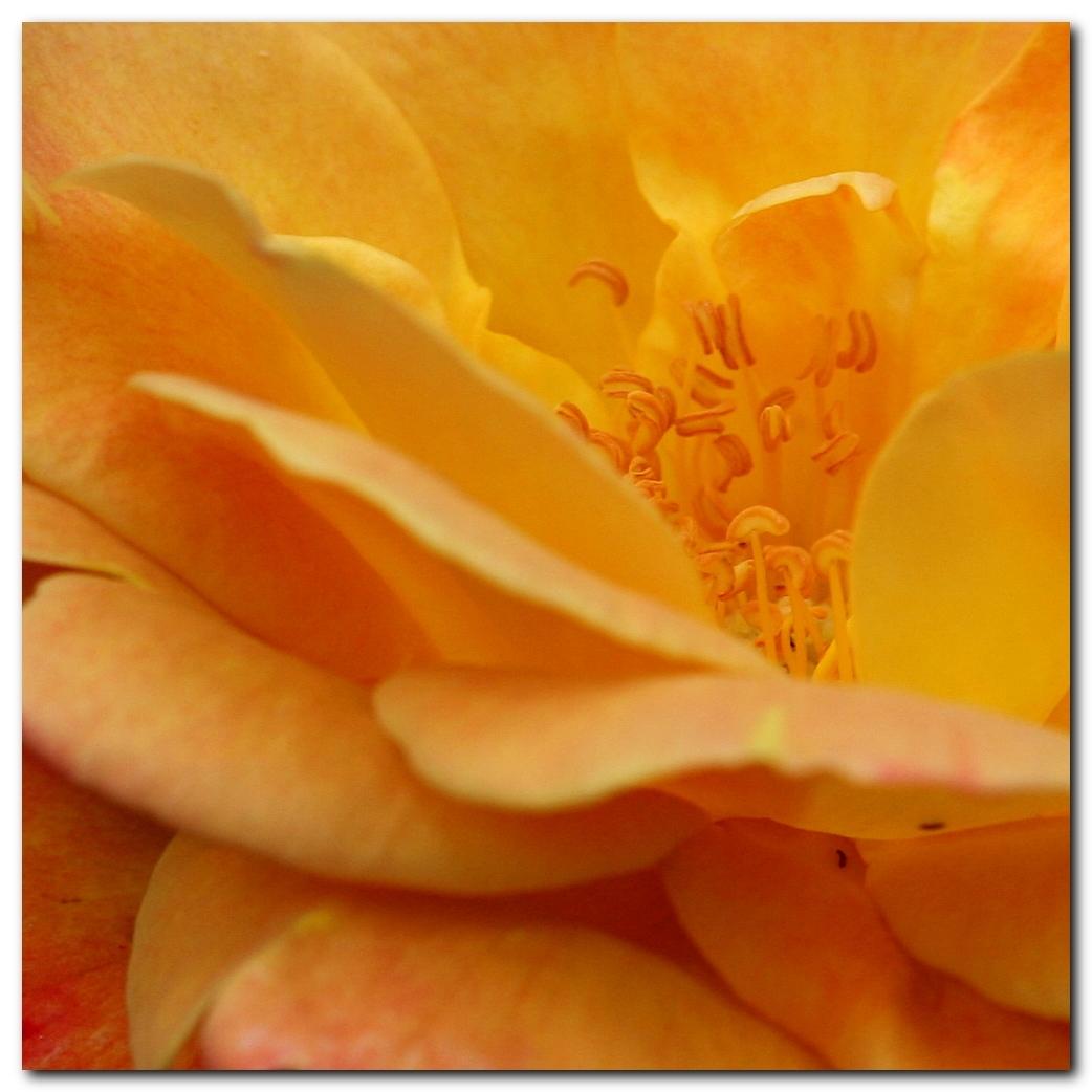 Joseph's Coat - Het hart van roos Joseph's Coat. - foto door MarnixBakker op 17-06-2010 - deze foto bevat: bloem, roos, stekel, Joseph's Coat