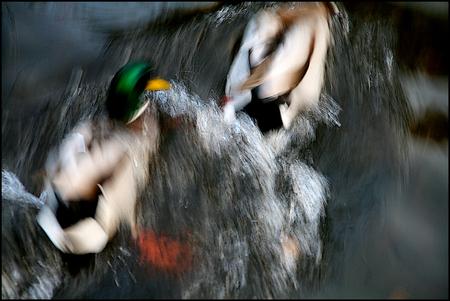 ik ga je pakken !!.. - een impressie  van elkaar fel achternazittende eenden.  exif:  1/30s..F/5,6..ISO 400..125mm  fijne avond en gr.christine.  ps: in het groot i - foto door christinel op 15-11-2011 - deze foto bevat: water, fel, beweging, achtervolging, christinel