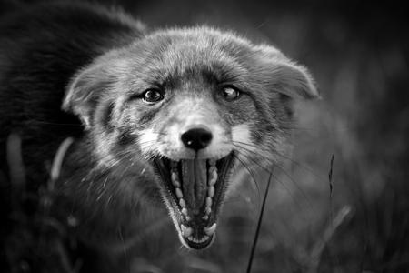 Moervos - Vast gelegd tijdens de ranstijd. Aan de andere kant stond een rekel, waarop de moervos reageerde. - foto door riana op 28-10-2020 - deze foto bevat: natuur, dieren, vos, rekel, moervos