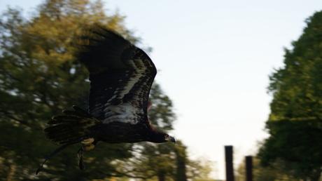 jonge balded eagle in vlucht