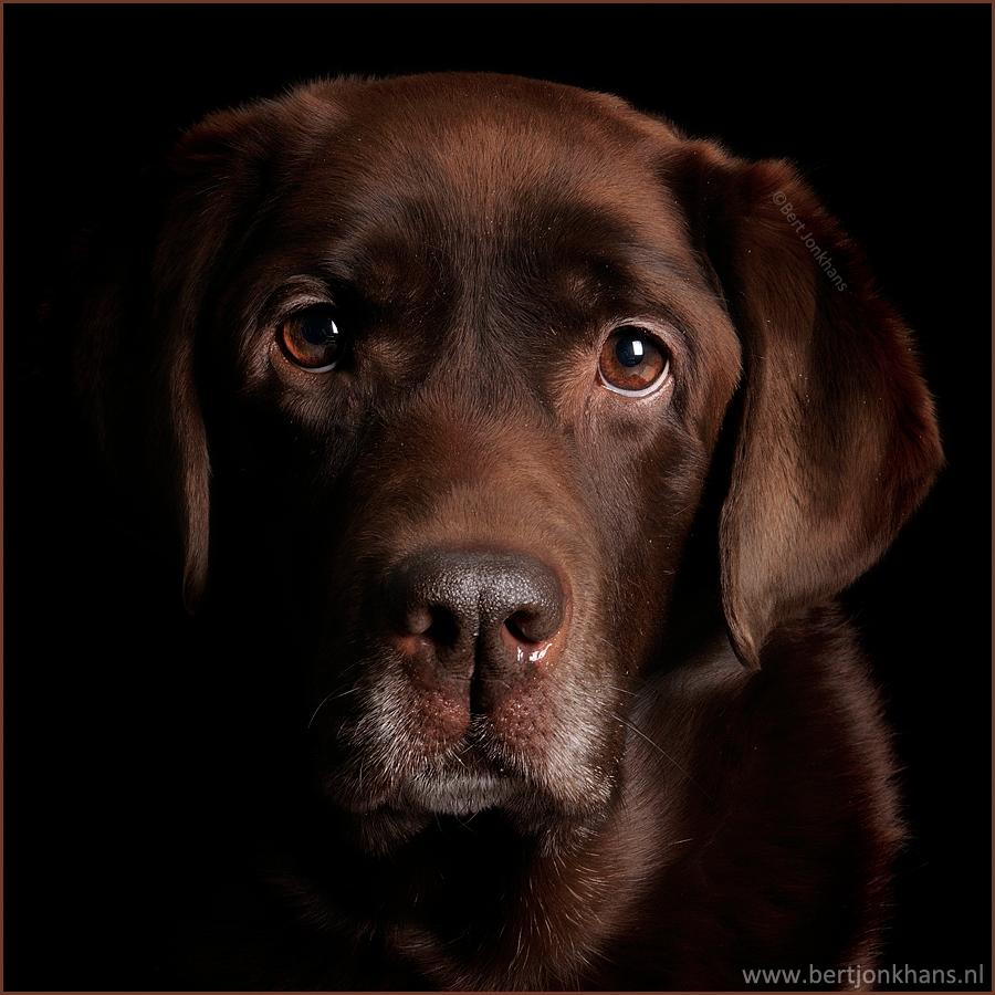 Millie - Één van mijn favoriete portretten van mijn hond Millie. - foto door bjonkhans op 28-08-2015 - deze foto bevat: dieren, huisdier, hond, dog, labrador, huisdierenfotografie, hondenfotografie, dogphotography