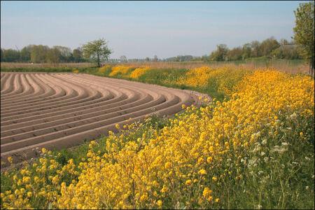 Lijnen in het landschap - In de omgeving van Mensingeweer  De lijnen van de aardappel ruggen in combinatie met het bloeide koolzaad  op het talud van de dijk ,waarover een fi - foto door Teunis Haveman op 13-05-2020 - deze foto bevat: dijk, lente, natuur, landschap