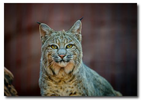 Red lynx ..